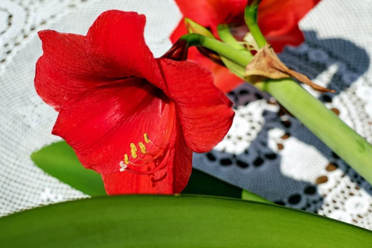 fleur, pétale, plante, fleurs, fleur, rouge, feuille