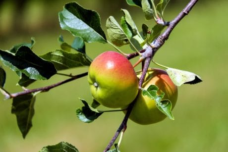 orchard, apple, fruit, nature, tree, leaf, food