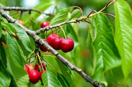 comida, folha, fruta, árvore, pomar, flora, natureza, ramo, árvore de cereja