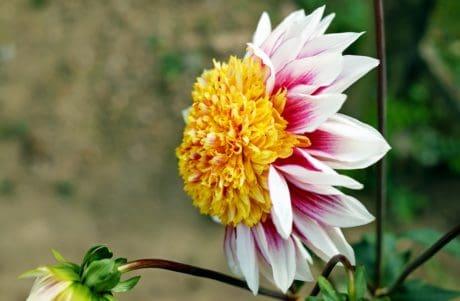 feuille, pétale, flore, jardin, l'été, nature, fleur, rose