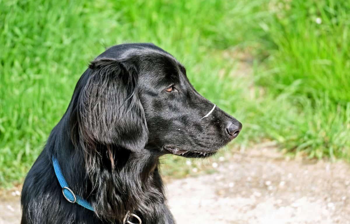 animale, animale, Canino, ritratto, nero, carina, erba