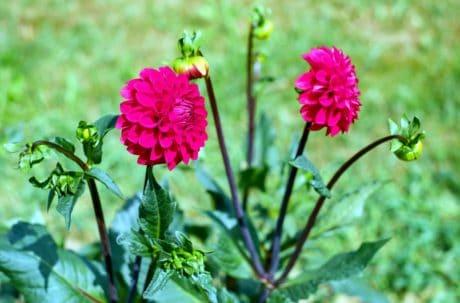 nature, petal, summer, garden, leaf, flower, flora, pink