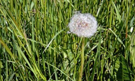 여름, 필드, 자연, 식물, 잔디, 민들레, 식물, 허브