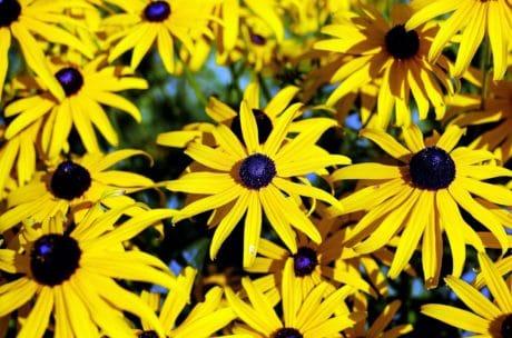 Tuin, natuur, bloem, zomer, plant, kruid, bloemblaadje, bloesem