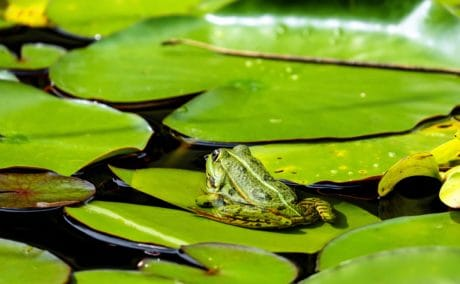 leaf, water, lotus, nature, flora, aquatic, lake, frog