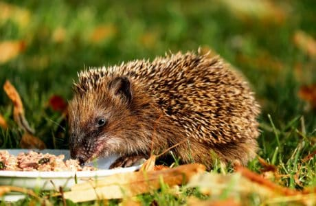 animal, nature, grass, hedgehog, rodent, wildlife, wild