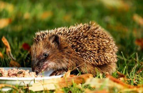animal, naturaleza, hierba, erizo, roedores, fauna, salvaje