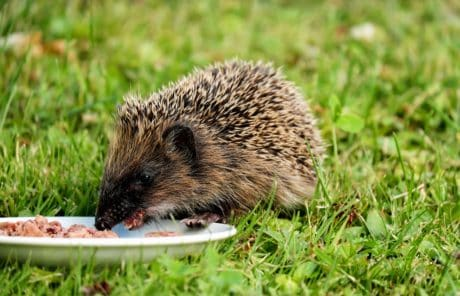 grass, nature, hedgehog, animal, rodent, wildlife, wild
