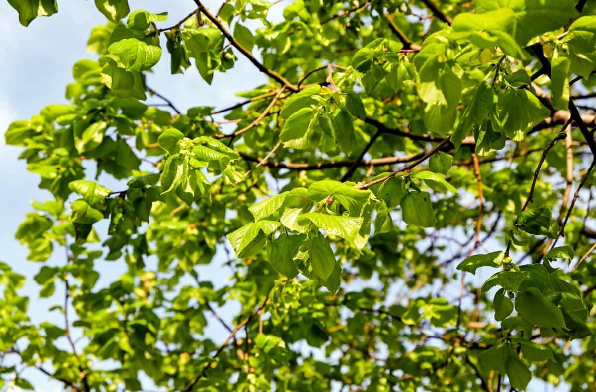 drvo, priroda, vrt, flore, grana, ljeto, list, okoliš