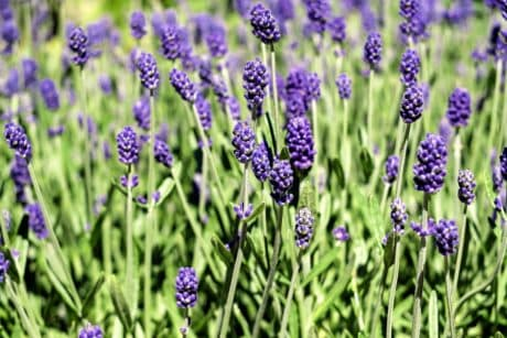 lavender, wild hyacinth, flower, nature, meadow, flora, field, plant, garden