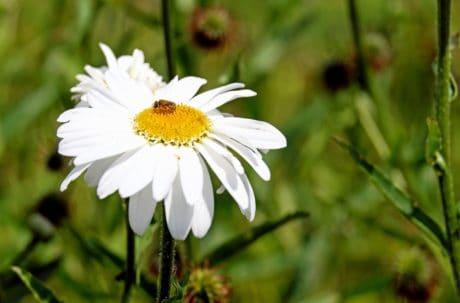 flore, ljeto, priroda, list, vrt, cvijet, pčela, insekata, pelud, biljka