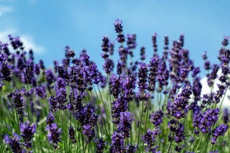flora, perfume, field, nature, lavender, flower, blue sky