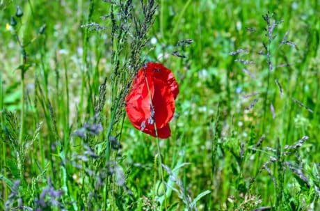 poppy, nature, flora, summer, field, flower, grass, leaf