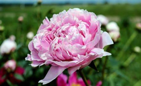 summer, flower, nature, flora, petal, leaf, garden, rose