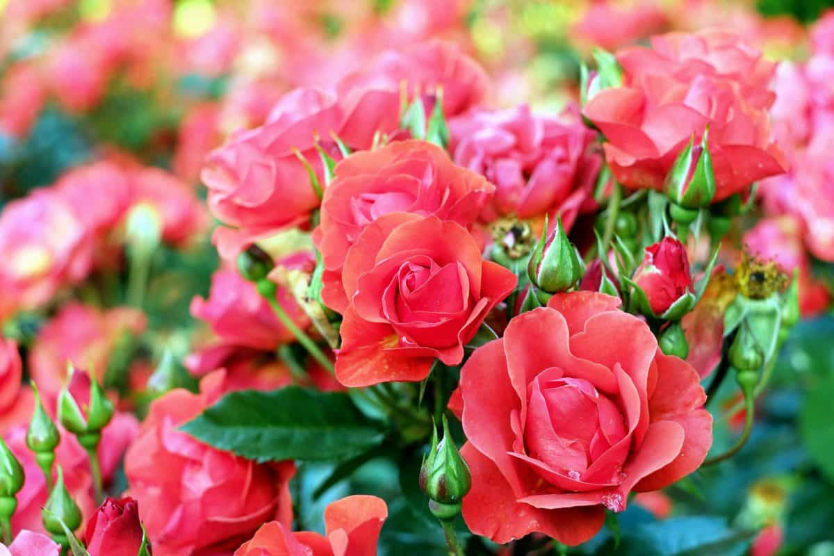 garden, bouquet, leaf, rose, flower, petal, summer, flora, nature