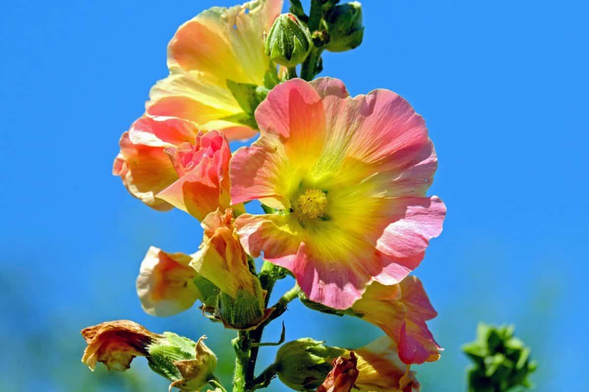 nyári, kék ég, növény, virág, nektár, bibe, természet, növény, szirom, virág