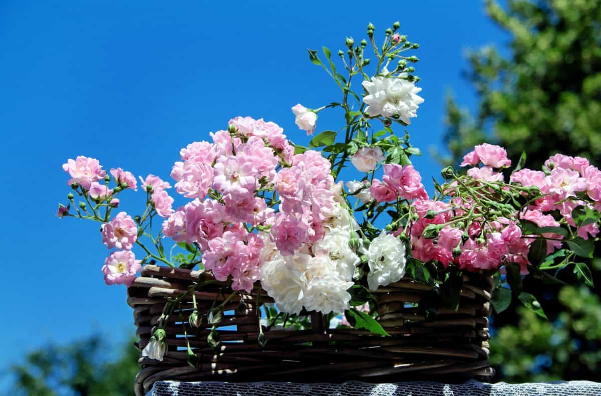 list, plavo nebo, latica, stablo, ruža, vrt, cvijet, flora, prirode, biljka