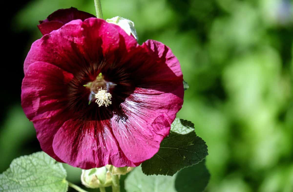 folha, jardim, natureza, verão, flora, flor, planta, rosa