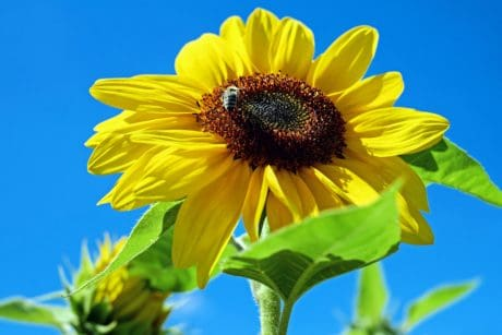 flower, sunflower, leaf, flora, nature, summer, plant, agriculture