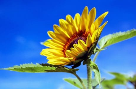 musim panas, daun, flora, sifat, bunga, bunga matahari, kelopak bunga, tanaman