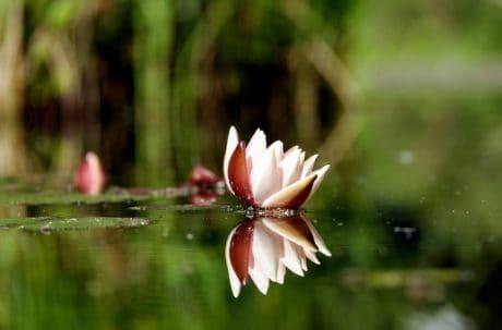 blomst, flora, natur, blad, Suite, blomst, rosa, kronblad, plante
