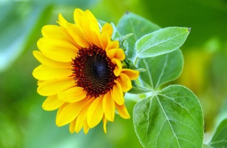 leaf, nature, summer, flora, sunflower, flower, petal, plant