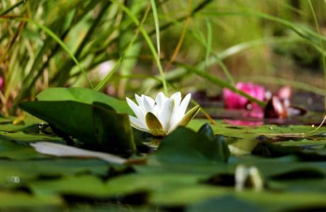 flora, blad, lotus, blomst, natur, hage, lily, vannplanter