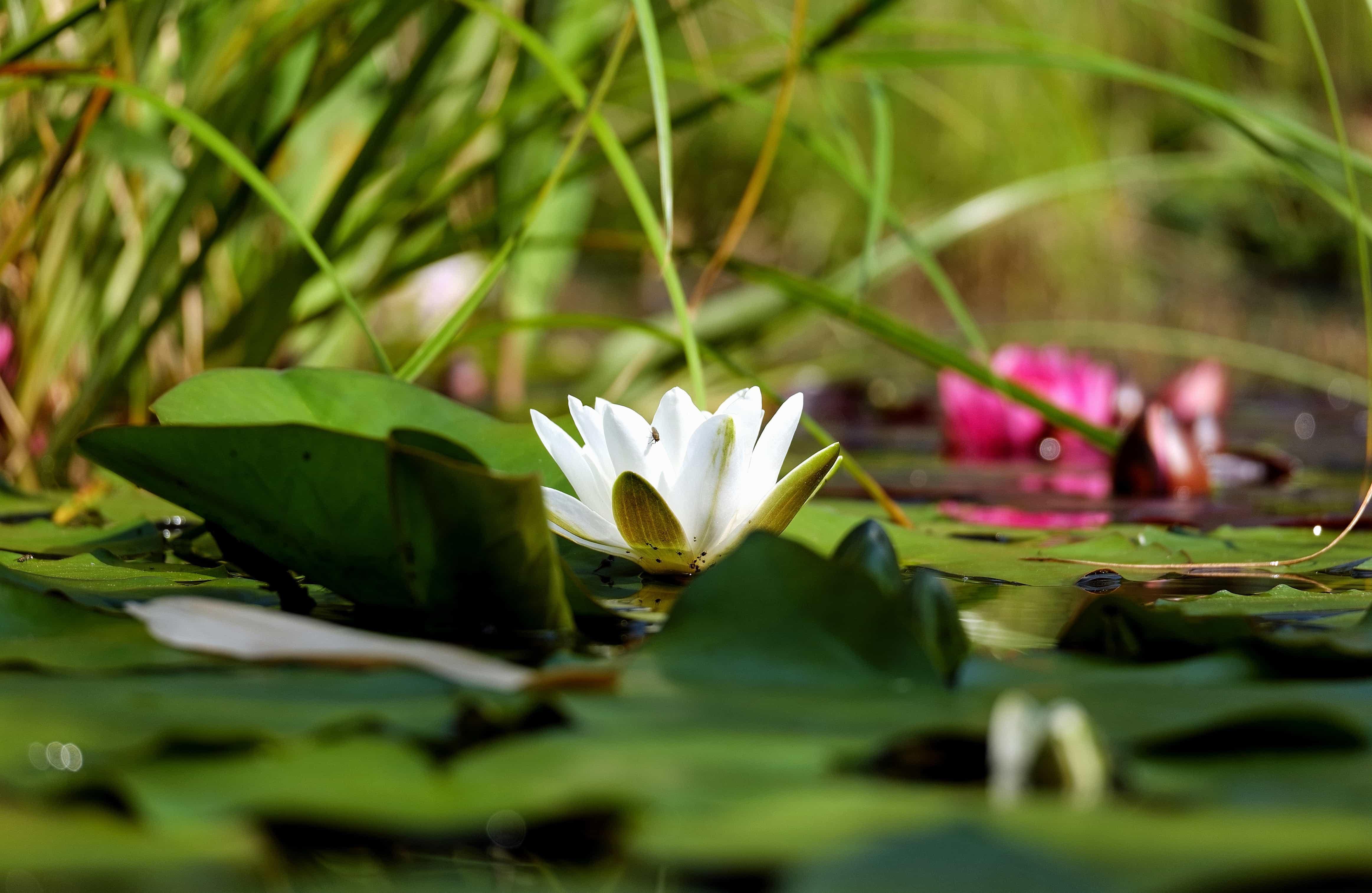 Free picture flora leaf lotus flower nature garden lily aquatic flora leaf lotus flower nature garden lily aquatic mightylinksfo