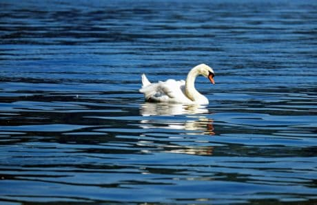 water, nature, lake, bird, swan, wildlife, beak, feather