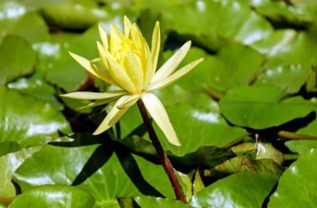 hoja, loto, naturaleza, flor, flora, loto, plantas acuáticas, flor