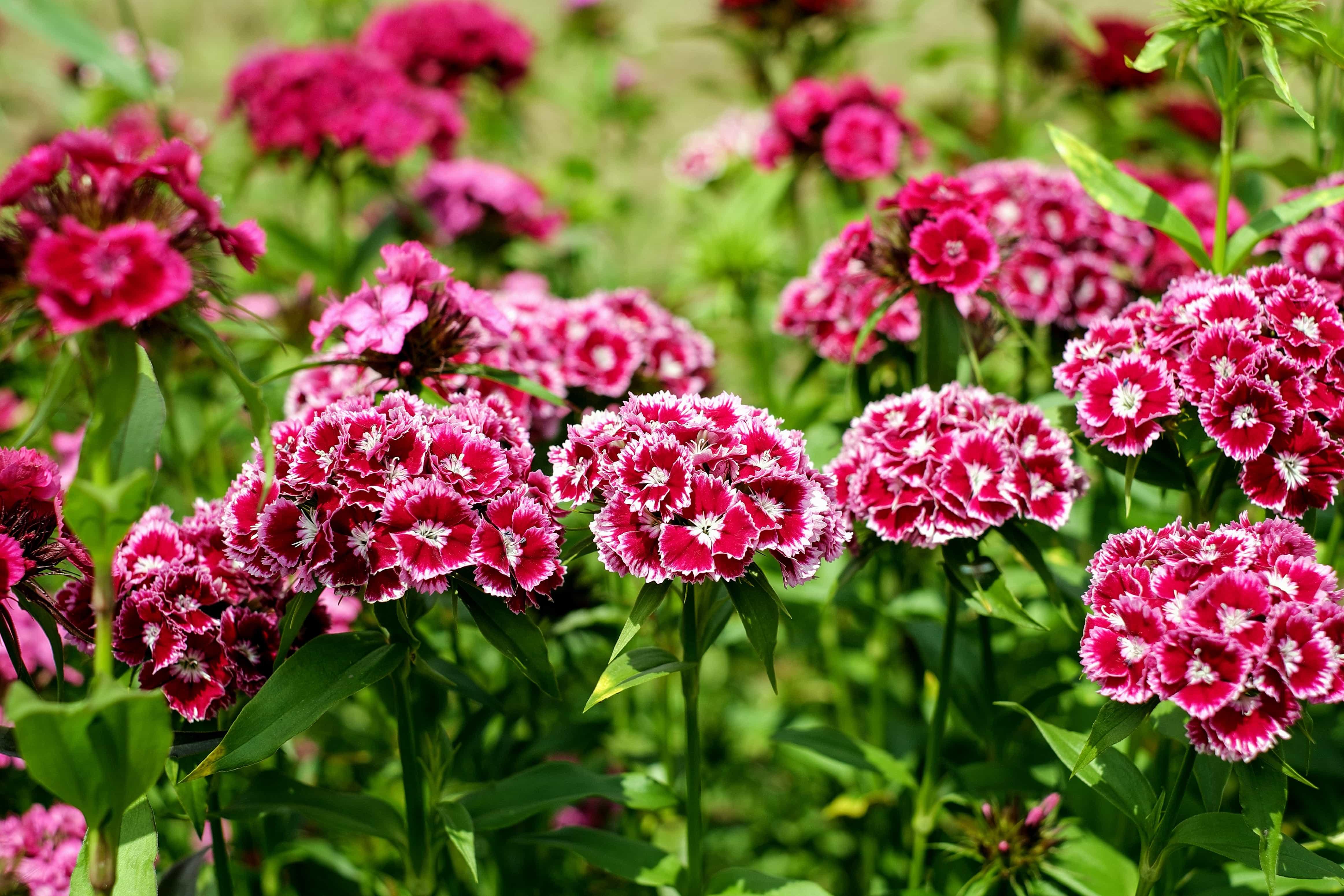 kostenlose bild nelke flora blumen sommer bl tenblatt garten natur rasen. Black Bedroom Furniture Sets. Home Design Ideas