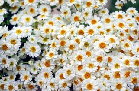 camomille, flore, nature, pétale, l'été, fleur, jardin, été