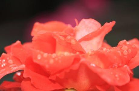 feuille, nature, fleur, rose, macro, pollen, nectar, plante, pétale, rose, fleur