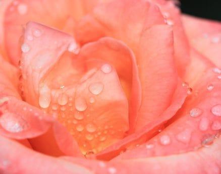 natur, pastell, kronblad, blomma, flora, dagg, rose