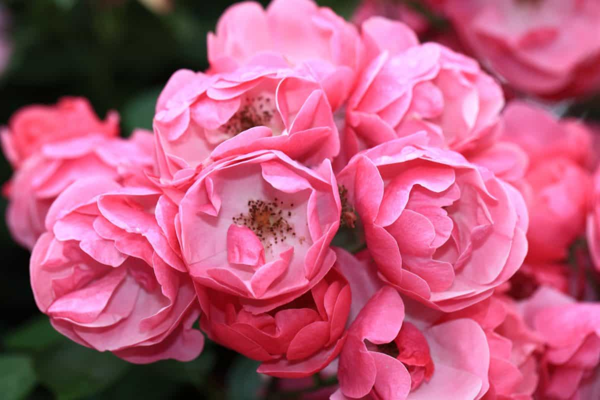 fiore, giardino, natura, flora, petalo, rosa, foglia, rosa, pianta