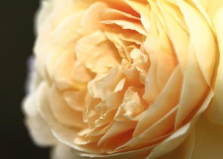 fleur, rose, nature, macro, pollen, nectar, pétale, plante