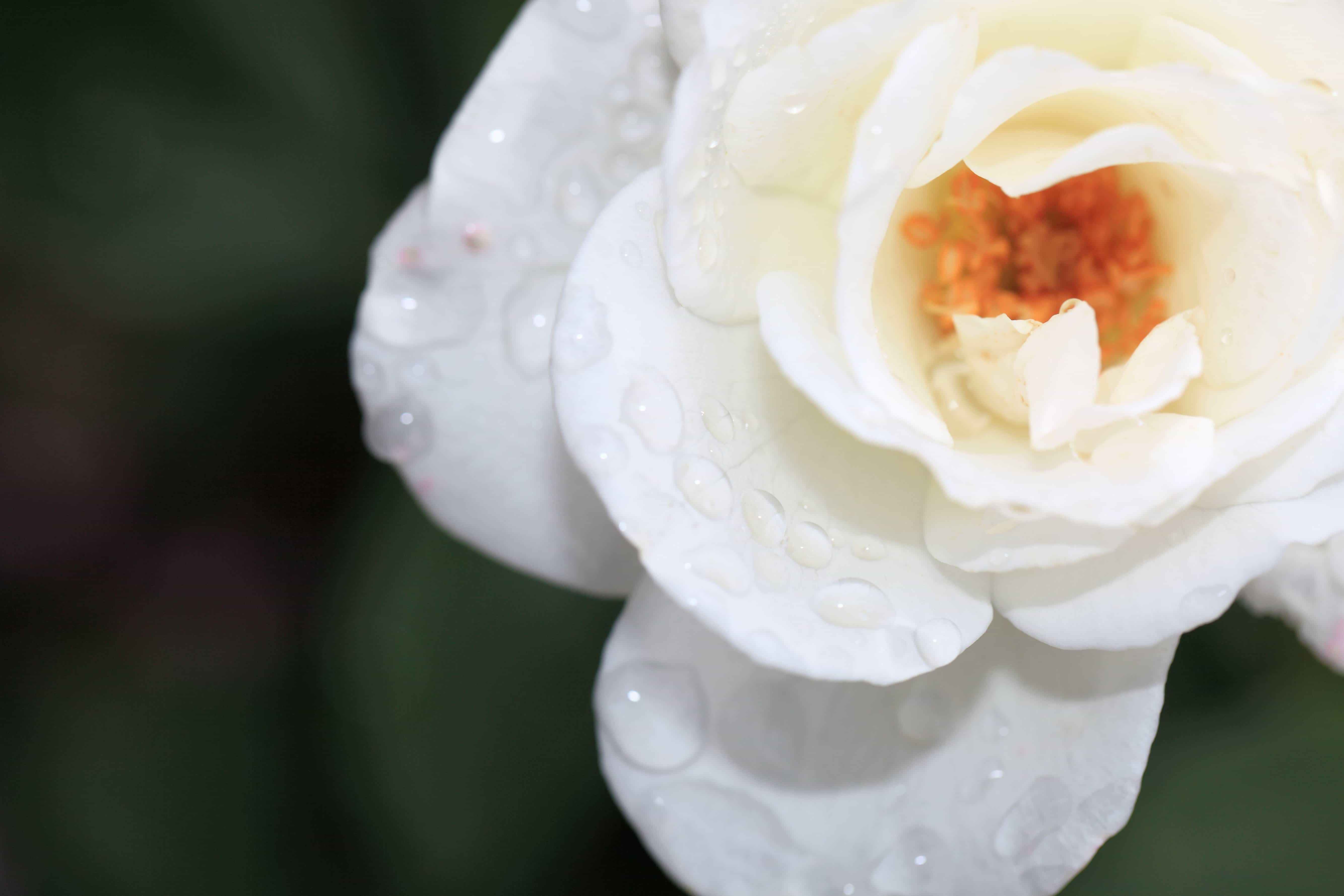 Free Picture Rose White Flower Dew Rain Nature Flora
