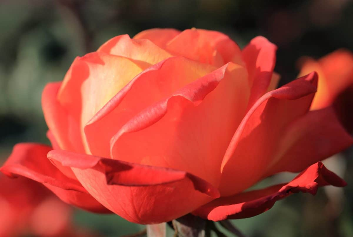 rosa rossa, natura, foglia, fiore, macro, giardino, petalo, pianta