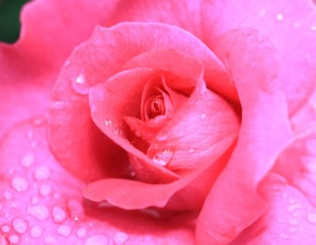flora, petal, rose, pastel, nature, dew, flower