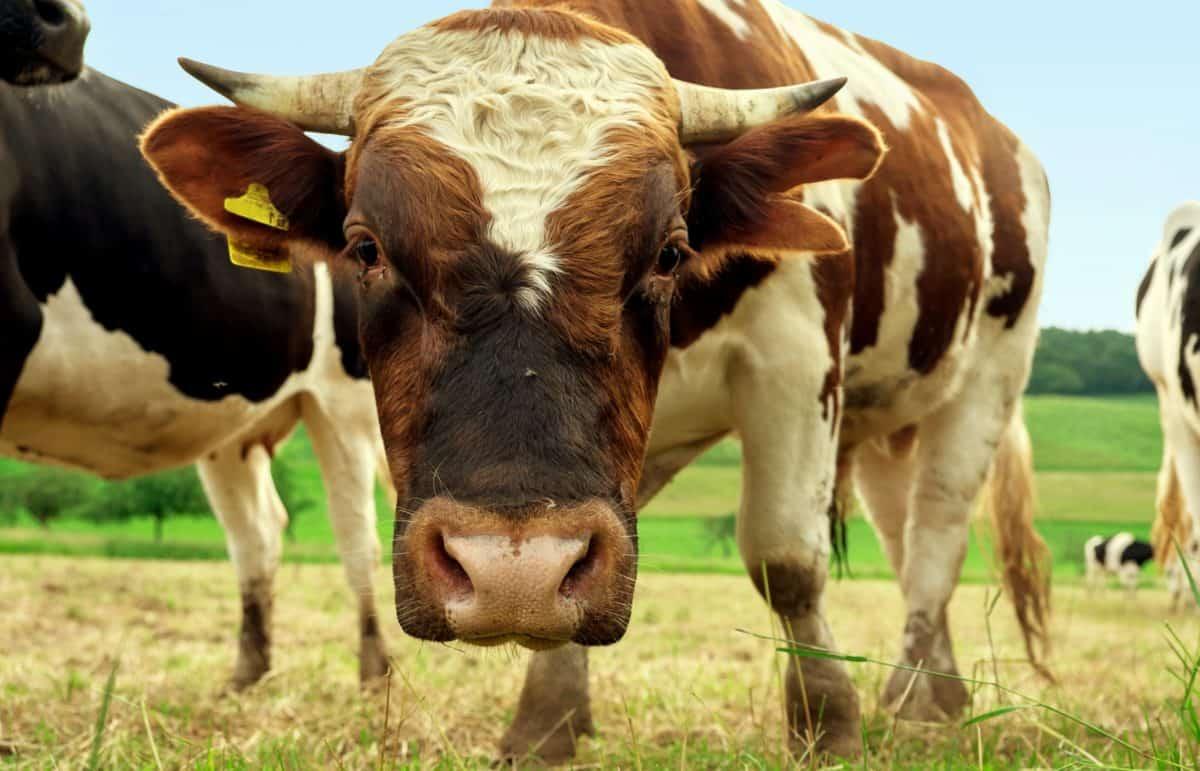 Kuh, Rasen, Vieh, Ackerland, Vieh, Bauernhof, Landwirtschaft