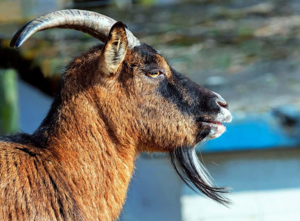 Tier, Natur, Tierwelt, Horn, Wild, Ziege, im freien