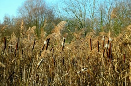 reed grass, field, nature, landscape, swamp, plant
