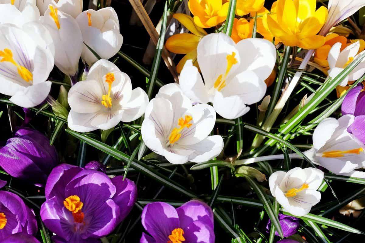 crocus, petal, leaf, garden, summer, flora, flower, nature