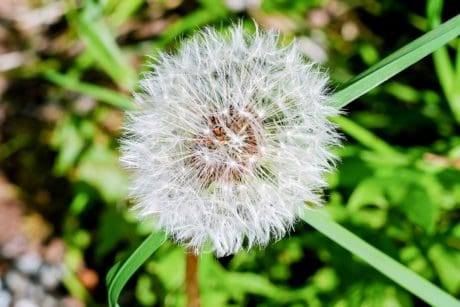 nature, dandelion, summer, green grass, flora, flower, plant