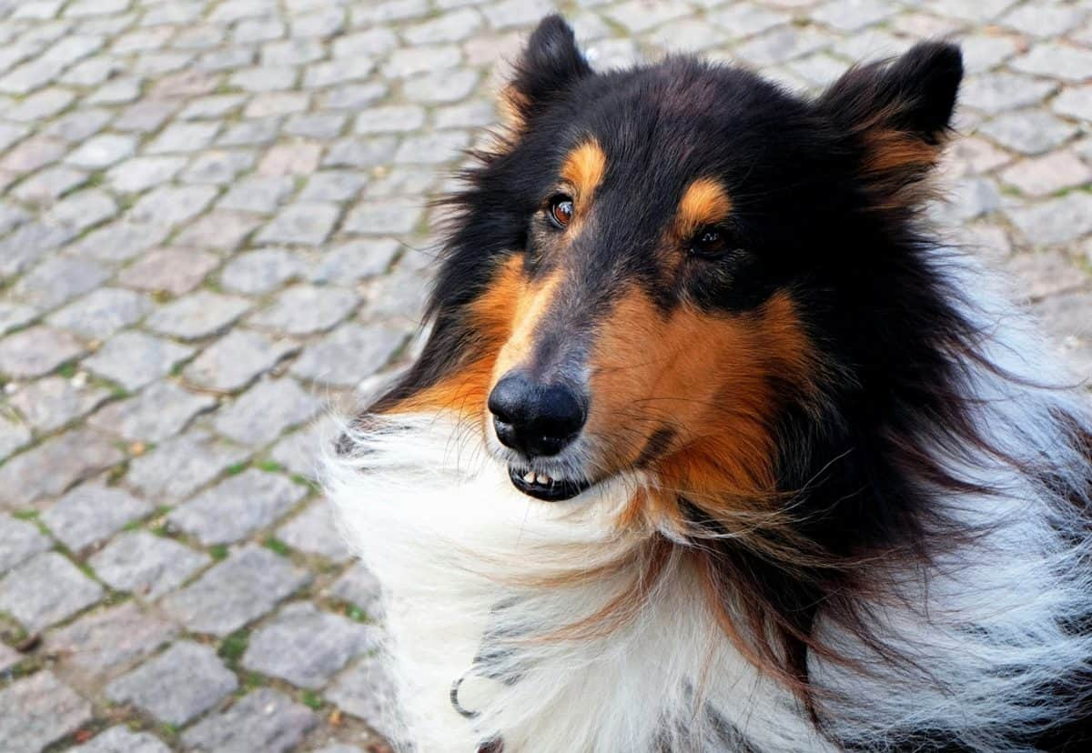 animal doméstico, perro, lindo, canino, animal, retrato, piel, tierra, al aire libre