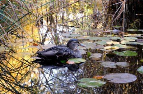 bico, pato-real, pluma, animais selvagens, água, lago, natureza, pato, pássaro