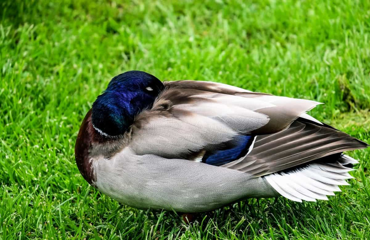 wildlife, duck, bird, grass, nature, waterfowl, feather, beak