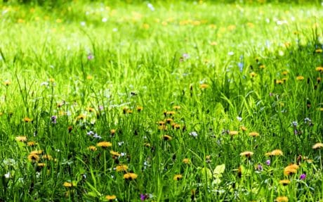 flower, flora, lawn, meadow, nature, summer, field, green grass
