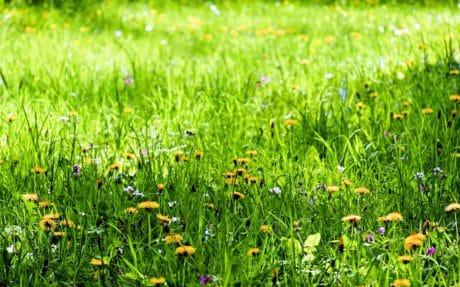 flor, flora, gramado, Prado, natureza, verão, campo, grama verde