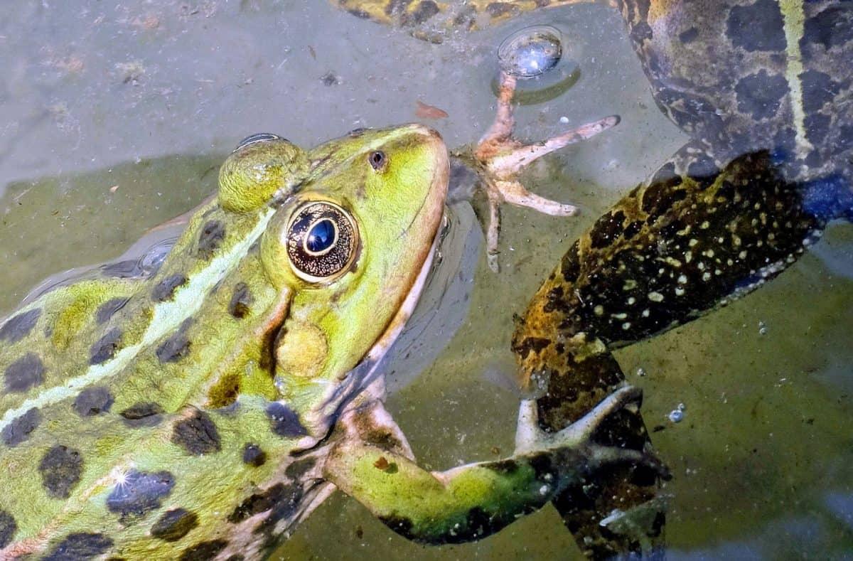 nature, frog, water, wildlife, eye, animal